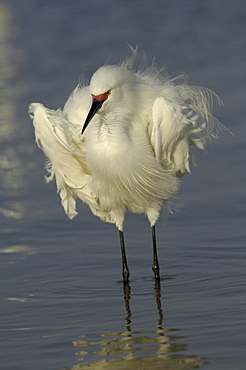 Snowy egret (egretta thula) florida, usa, standing in water, feathers ruffled, showing red facial colour of breeding adult
