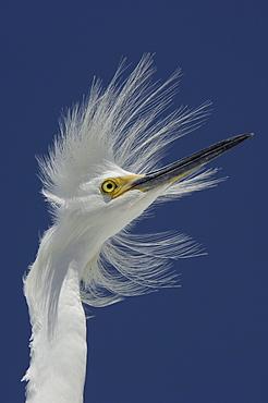 Snowy egret (egretta thula) florida, usa, portrait against blue sky