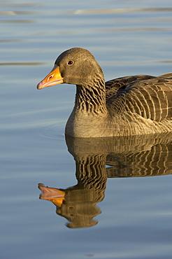 Greylag goose. Anser anser. In water reflection, uk