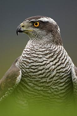 Northern goshawk. Accipiter gentilis. Close-up of and shoulders, captive. Scotland, uk.
