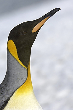 King penguin (aptenodytes patagonicus) right whale bay, south georgia, close-up of head and neck