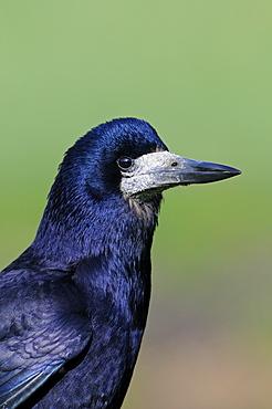 Rook (corvus frugilegus) portrait, oxfordshire, uk