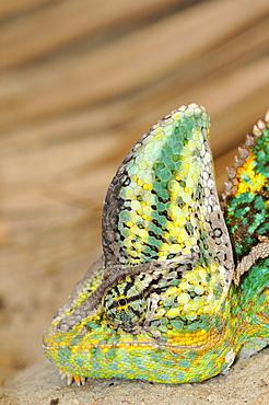 Veiled chameleon (chamaeleo calyptratus) close-up, ground dwelling desert chameleon native to yemen