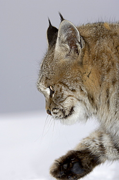 Close, up of north american bobcat (lynx rufus), captive.