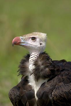 White, headed vulture (trigonoceps occipitalis), close, up. Masaii mara, kenya.
