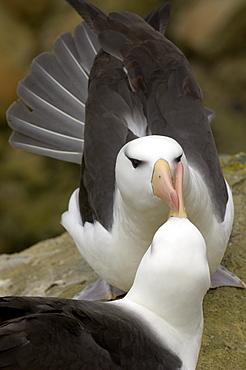 Black-browed albatross (diomedea melanophris) falkland islands, pair in courtship display.