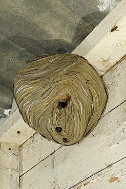 Common wasp (vespula vulgaris) nest hanging on roof of outbuilding, oxfordshire, uk