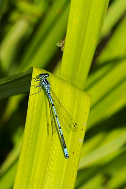 Azure damselfly (coenagrion puella) male at rest on vegetation, kent, uk