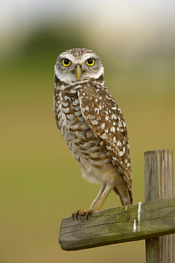 Burrowing owl (speotyto cunicularia) florida, usa, perched on wooden post.