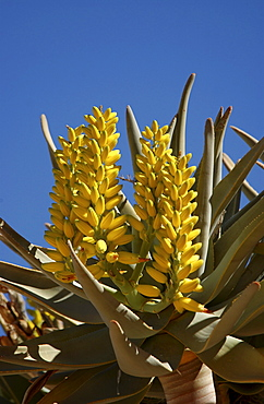 Quiver tree or kokerboom (aloe dichotoma) showing flowers, namibia.