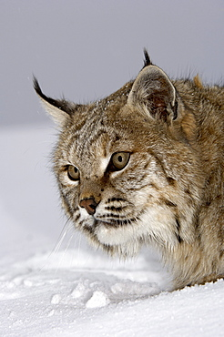 Close, up of a north american bobcat (lynx rufus), captive.