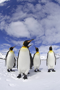 King penguin (aptenodytes patagonicus) st andrews bay, south georgia, small group in snowy landscape