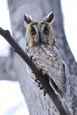 Long-eared owl (asio otus) perched in daytime roost, bulgaria