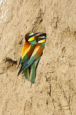 European Bee-eater (Merops apiaster) pair perched on sand bank at nest hole, Bulgaria