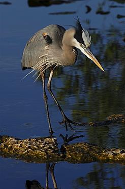 Great blue heron. Ardea herodias. Florida, usa