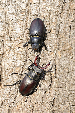 Stag beetle (lucanus cervus) male and female facing each other on tree trunk, oxfordshire, uk