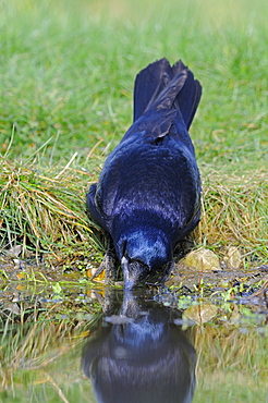 Carrion crow (corvus corone) drinking water, oxfordshire, uk