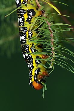 Spurge Hawkmoth (Hyles euphorbiae) fully grown larva feeding on cypress spurge leaf