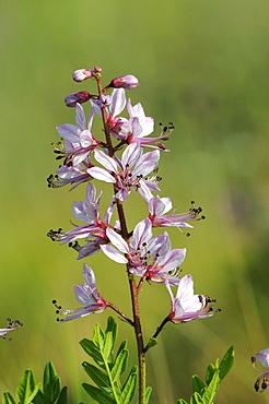 Burning Bush or False Dittany (Dictamnus albus) flower spike, Bulgaria