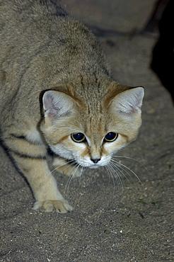 Sand cat (felis margarita) native to arid regions of africa and asia (captive bristol zoo)
