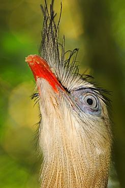 Red,legged seriema (cariama cristata) close,up of head showing eye, captive, brazil.