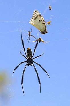 Spider in web, eastern cape, south africa