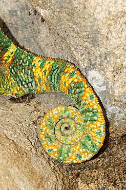 Veiled chameleon (chamaeleo calyptratus) close-up of curled-up tail, ground dwelling desert chameleon native to yemen