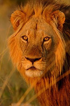 Lion. Panthera leo. Male portrait. Botswana