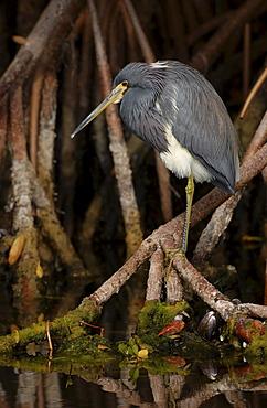 Tricoloured heron. Egretta tricolor. Perched in mangroves. Florida, usa