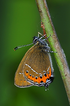 Black hairstreak butterfly (satyrium pruni) adult at rest on twig, uk