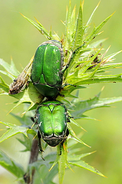 Green Rose Chafer (Cetonia aurata) pair resting together on top of vegetation, Bulgaria