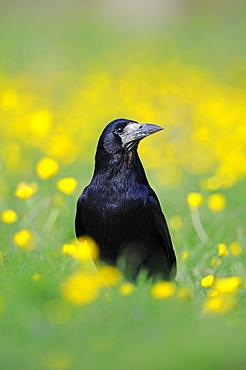 Rook (corvus frugilegus) standing in field of buttercups, oxfordshire, uk