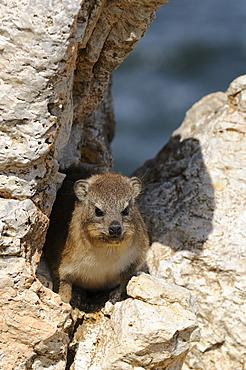 Cape rock hyrax (procavia capensis) amongst rocks, hermanus, south africa