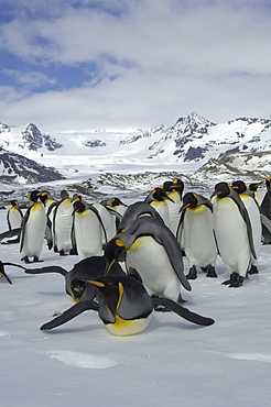 King penguins (aptenodytes patagonicus) st andrews bay, south georgia, group in snowy landscape
