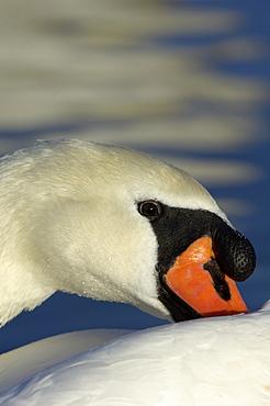Cygnus. Close-up of. Richmond, uk