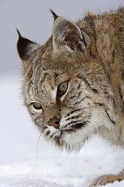 Close, up of north american bobcat (lynx rufus), captive.