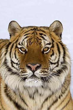 Siberian tiger (panthera tigris altaica) portrait, captive