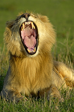 Lion (panthera leo). Masaii mara, kenya, young male yawning in evening light.
