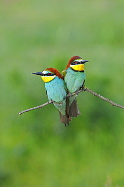 European Bee-eater (Merops apiaster) pair perched together on twig, Bulgaria
