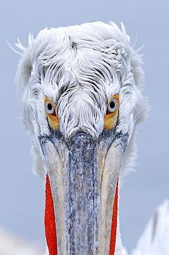 Dalmatian pelican (pelecanus crispus) portrait of adult in breeding plumage, lake kerkini, greece