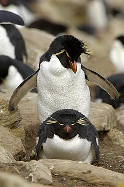 Rockhopper penguin (eudyptes chrysocome) new island, falkland islands, pair amongst the rocks, at nesting site.