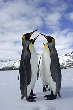 King penguins (aptenodytes patagonicus) st andrews bay, south georgia, in snowy landscape, standing face to face