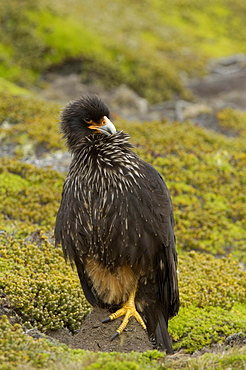 Striated caracara (phalcoboenus australis) new island, falkland islands, perched on one leg on the ground, preening.