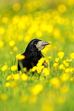 Rook (Corvus frugilegus) on ground amongst buttercups, Oxfordshire, UK