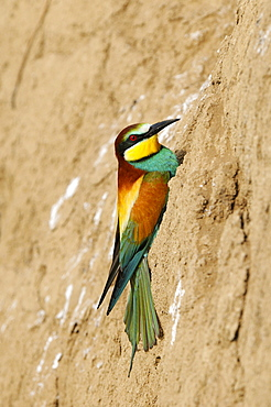 European Bee-eater (Merops apiaster) clinging to side of sandy bank, Bulgaria