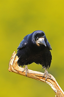 Rook (corvus frugilegus) perched on dead branch, oxfordshire, uk
