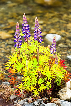 Lupins (Lupinus) near Lake Tekapo, South Island, New Zealand, Pacific