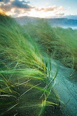 Marram grass blows in the wind, Harlech, Gwynedd, Wales, United Kingdom, Europe