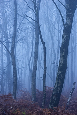 Silver birch (Betula pendula) trees and dawn fog in October, Peak District, Derbyshire, England, United Kingdom, Europe
