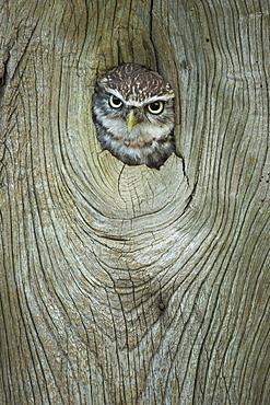 Little owl (Athene noctua), in captivity, Gloucestershire, England, United Kingdom, Europe
